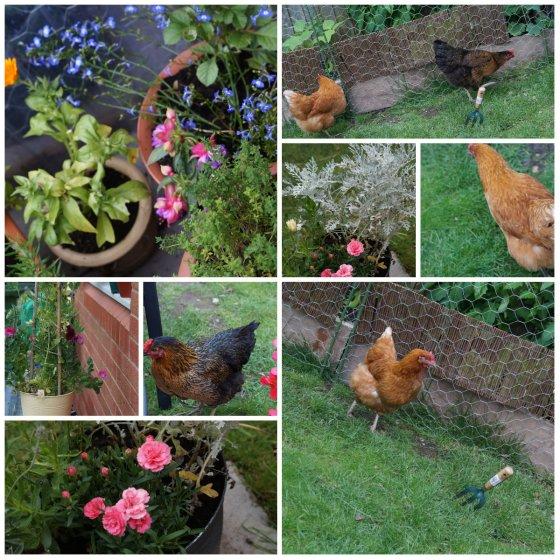 garden and chckens